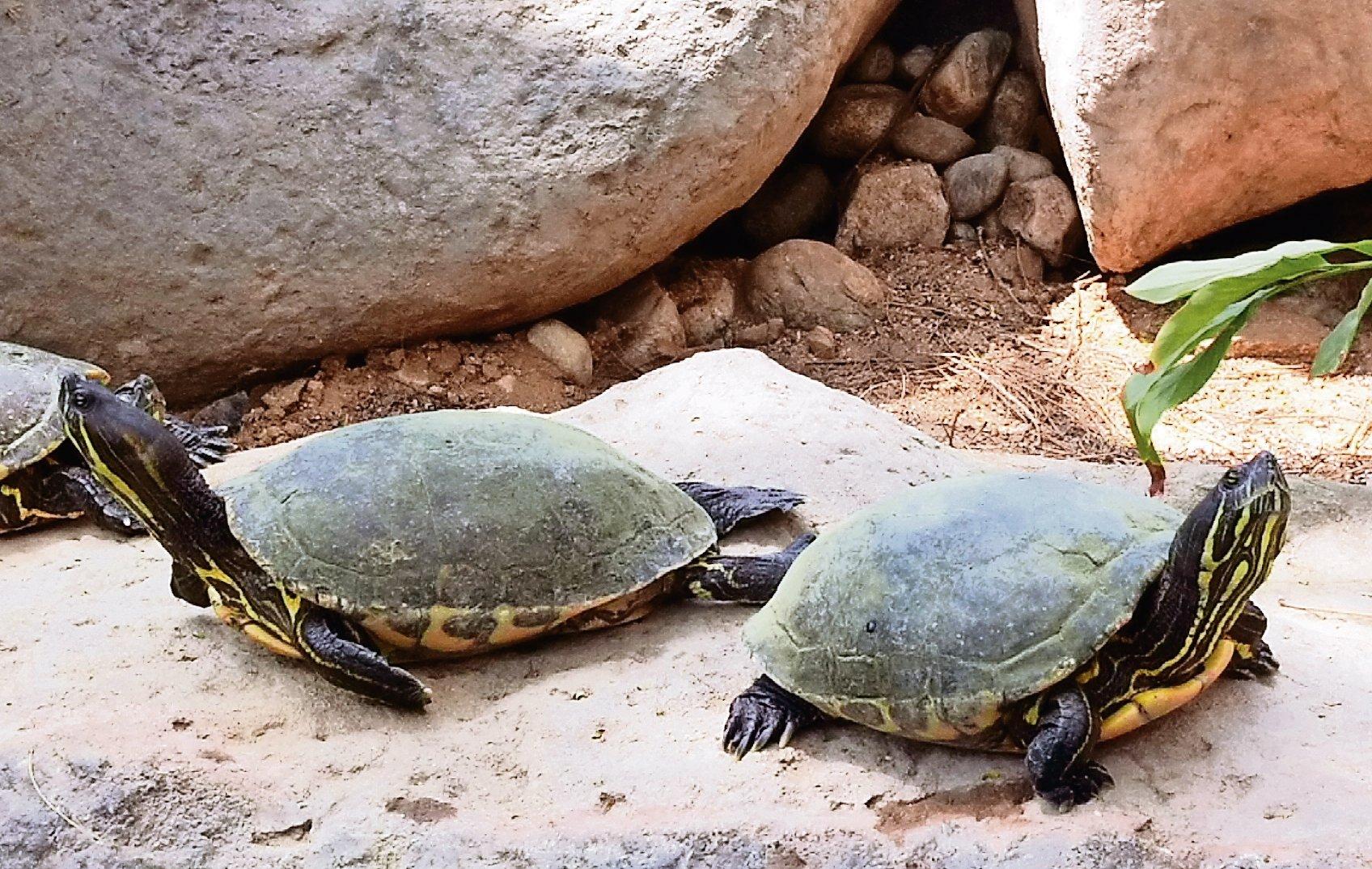 Resguardan 2 especies de tortugas endémicas en Oaxaca