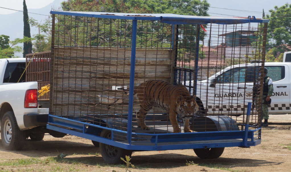 Decomisan a Rayas y Yogui del Circo Oso Ruso; los trasladan a zoológico de Puebla