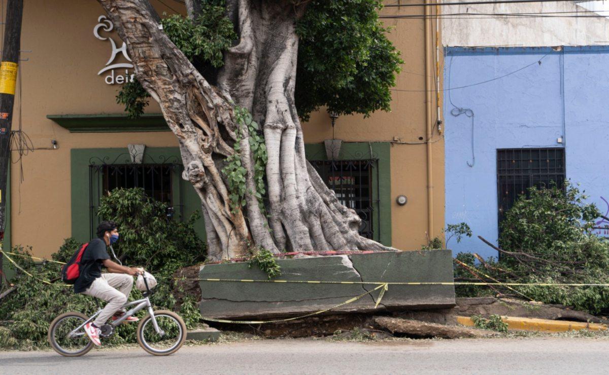 Derriban árbol histórico que fue dañado por lluvias; era un riesgo para la ciudadanía: ayuntamiento