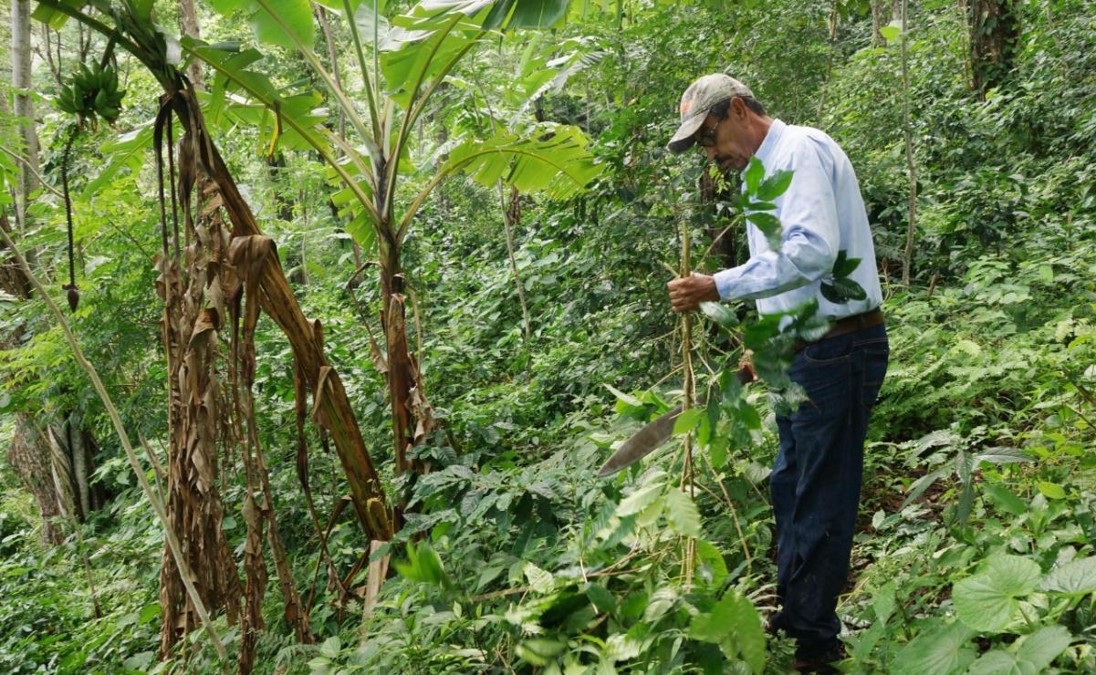 Plaga de broca afecta 60 mil hectáreas donde se cultiva café en Oaxaca