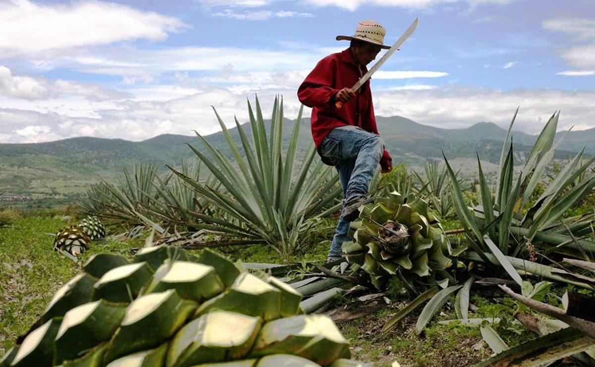 Solicita Sinaloa modificar Denominación de Origen Mezcal para incluir su destilado; apelan en contra