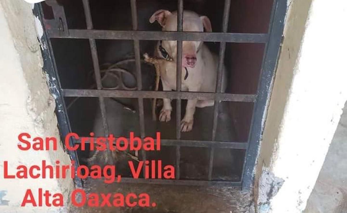 Encarcelan a perro pitbull en la Sierra Norte; autoridades quieren matarlo por considerarlo peligroso