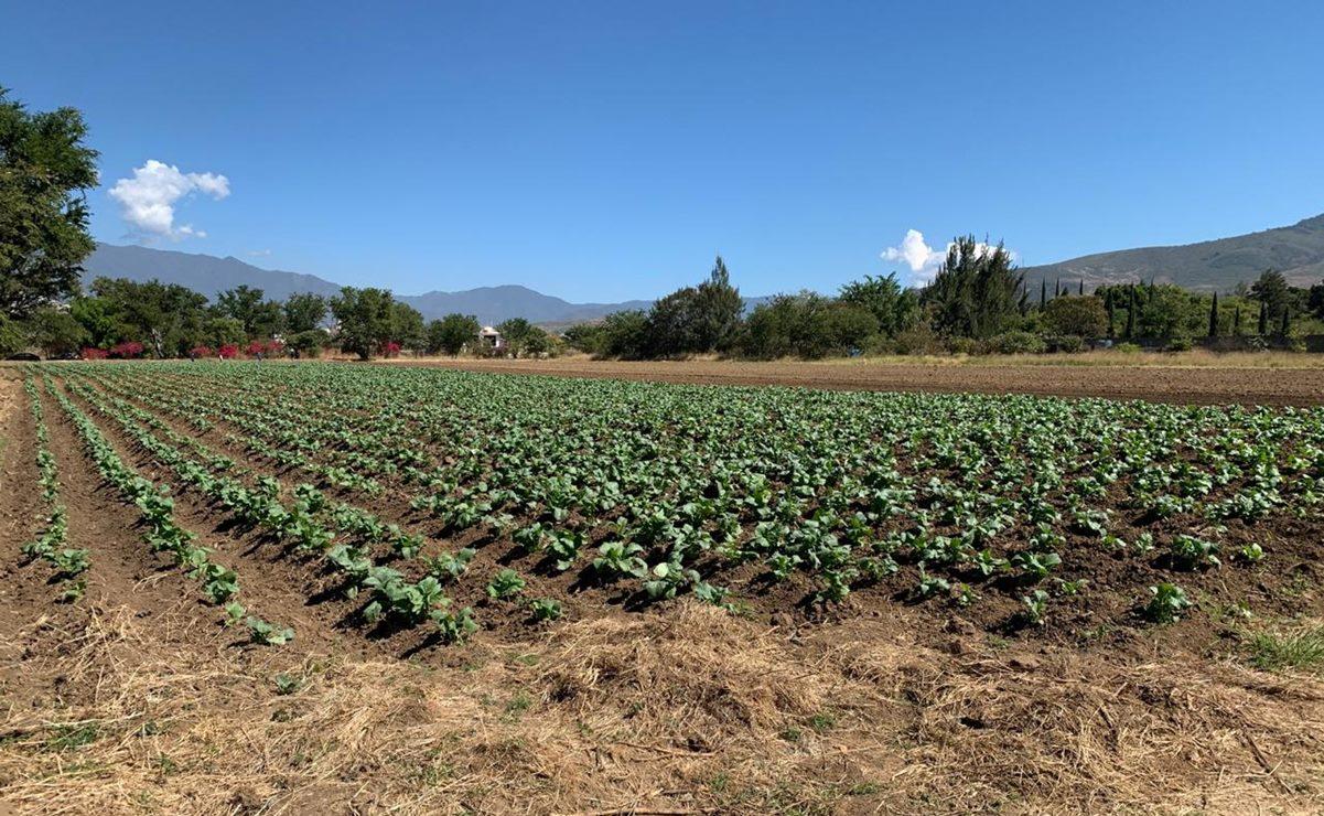 Cancelan cosecha para Noche de Rábanos por Covid-19 en Oaxaca; se aprovechará como abono