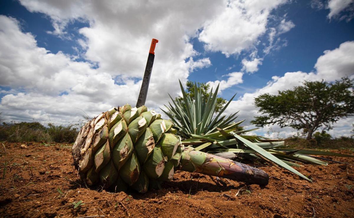 """Uso del agua, el lado oscuro tras el """"boom"""" de la industria del mezcal en Oaxaca"""