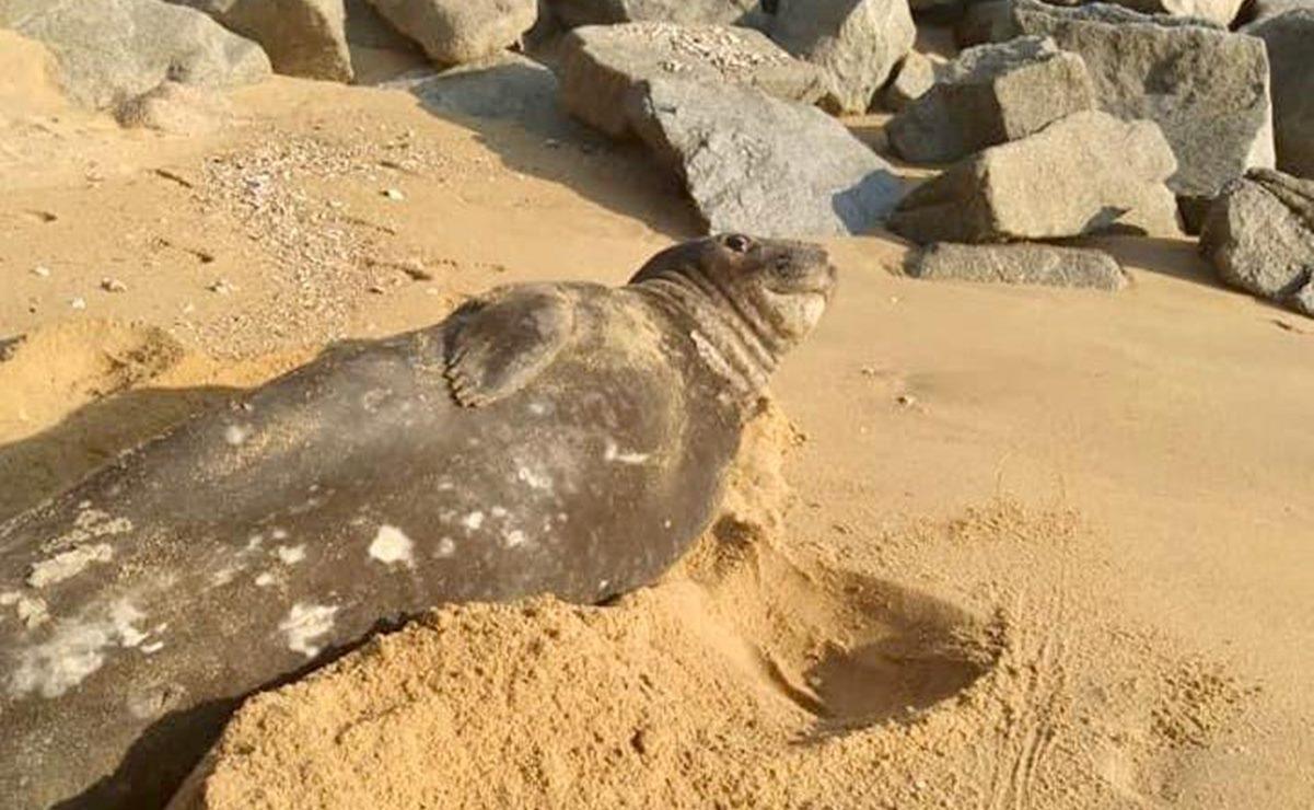 ¡No molestar! Captan a elefante marino descansando y tomando el sol en playas de Huatulco