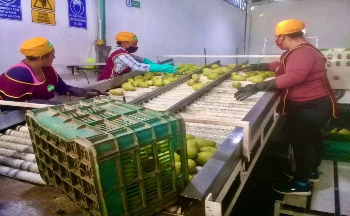 Amplía 4T periodo de inscripción de huertos de mango en Oaxaca que buscan exportar a EU