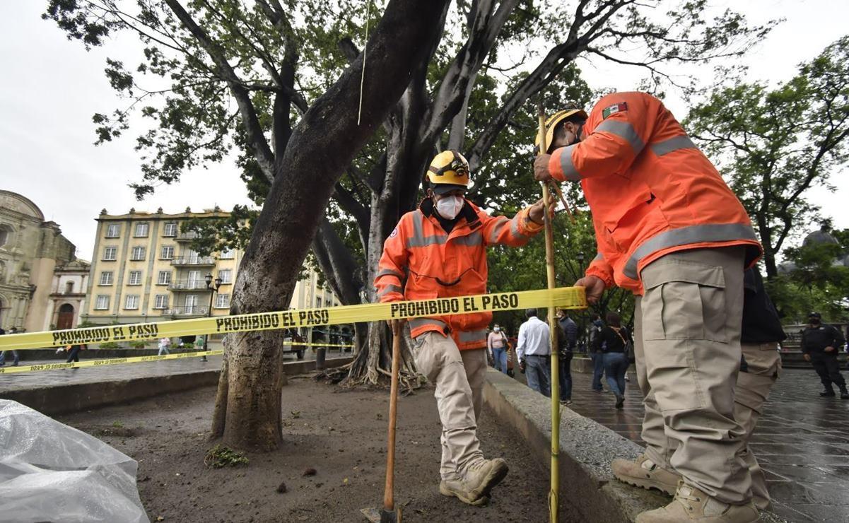 Con las lluvias, 4 árboles históricos de la Alameda y el Zócalo de Oaxaca están en riesgo de caer