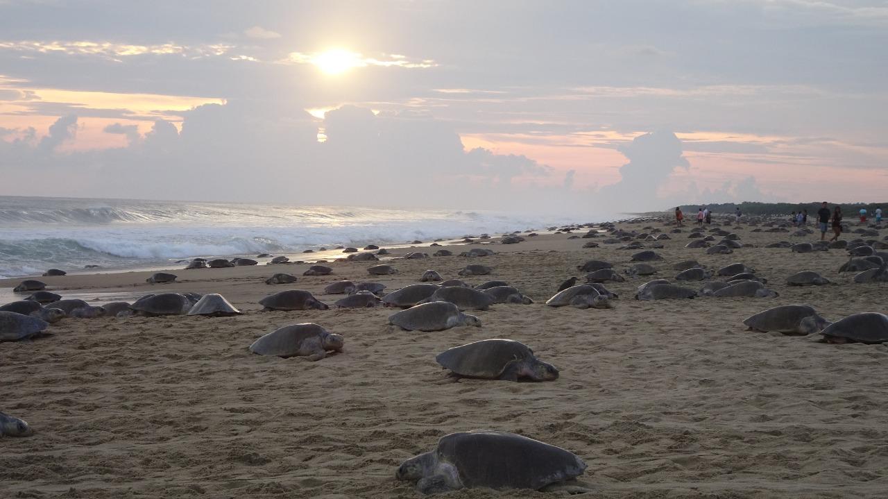 Llegan más de 350 mil tortugas golfinas a santuarios en la Costa de Oaxaca