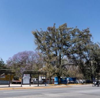 Obras sin estudios de impacto ambiental e intervenciones amenazan árboles de la ciudad de Oaxaca