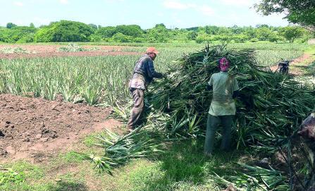Aumenta producción  de piña;  baja el trabajo
