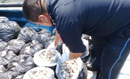 Asegura Policía Federal más de 22 mil huevos de tortuga marina en Oaxaca