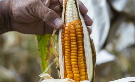 Denuncian biopiratería con maíz de comunidad mixe, y acusan a AMLO de su futura privatización