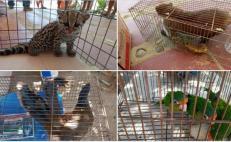 Incauta Profepa ejemplares en peligro de extinción en domicilio de Huatulco