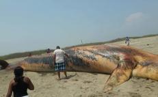 Encalla y muere ballena de 19 metros en playa de Chacahua