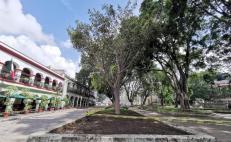 Higo del Valle ya ocupa el lugar del primer laurel centenario que cayó en el zócalo