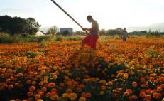 Covid-19 apaga festejos de Día de Muertos y frena vendimia de las flores; temen perder cosecha