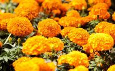 Cempasúchil, el significado de la flor de Día de Muertos