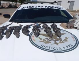 Localiza GN ejemplares abandonados de iguana negra, usada en la gastronomía zapoteca