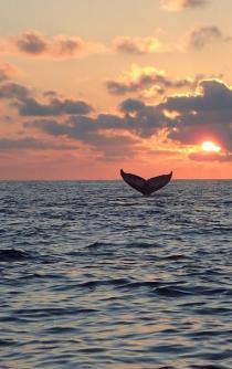 Ballenas jorobadas deslumbran en costas oaxaqueñas