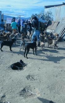 Denuncian animalistas maltrato a 200 perros en Zaachila