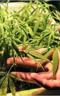 Unión Nacional de Padres de Familia pide a AMLO no legalizar la marihuana