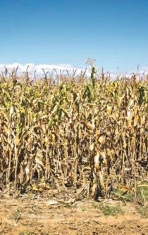 Denuncian nueva ley que amenaza al maíz nativo