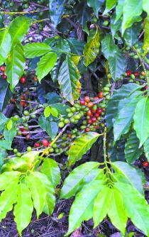 Aguardan productores Denominación de Origen del café pluma; norma oficial, al 80%